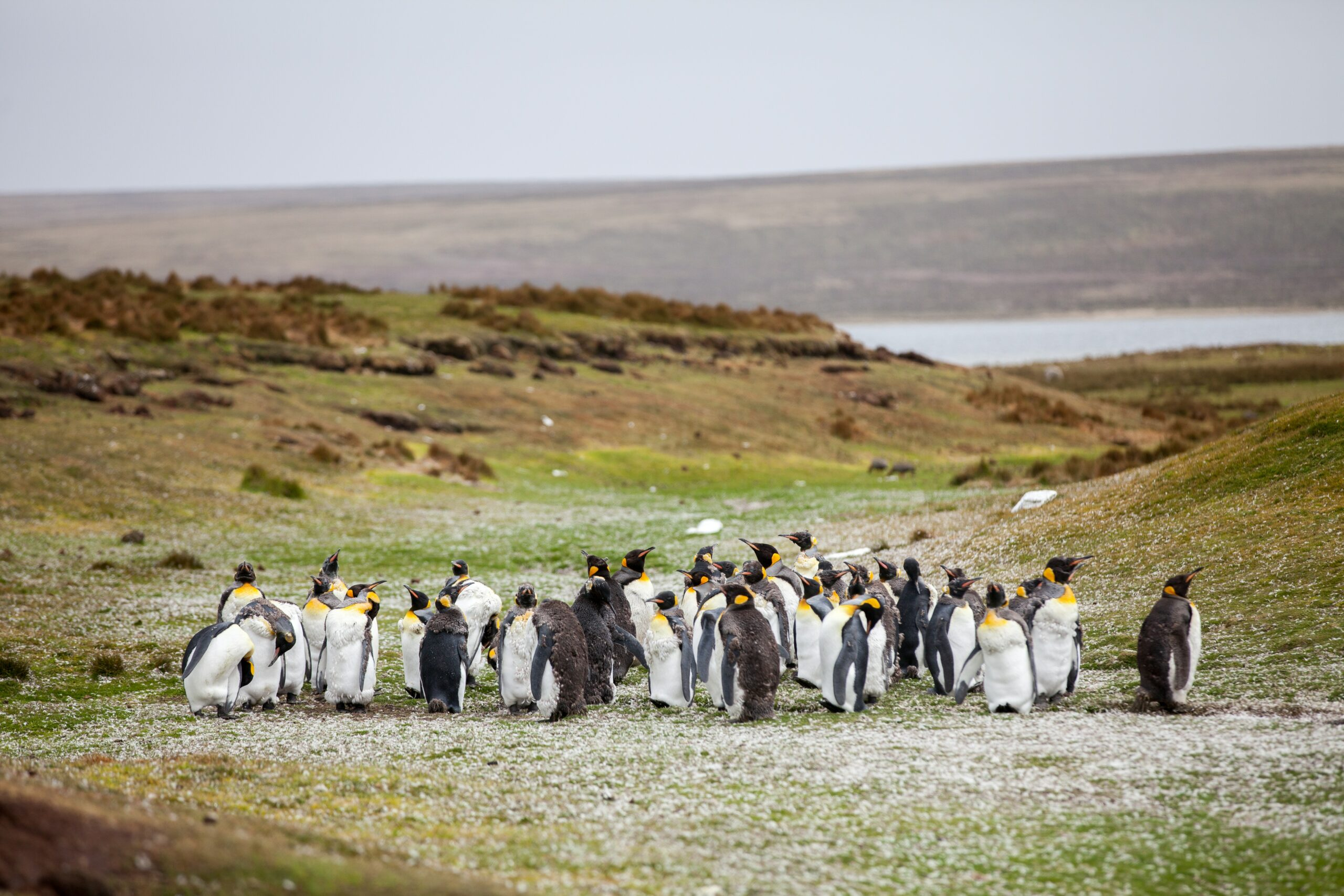 Group of emperor penguins on a green hill with a little snow and the ocean in the background